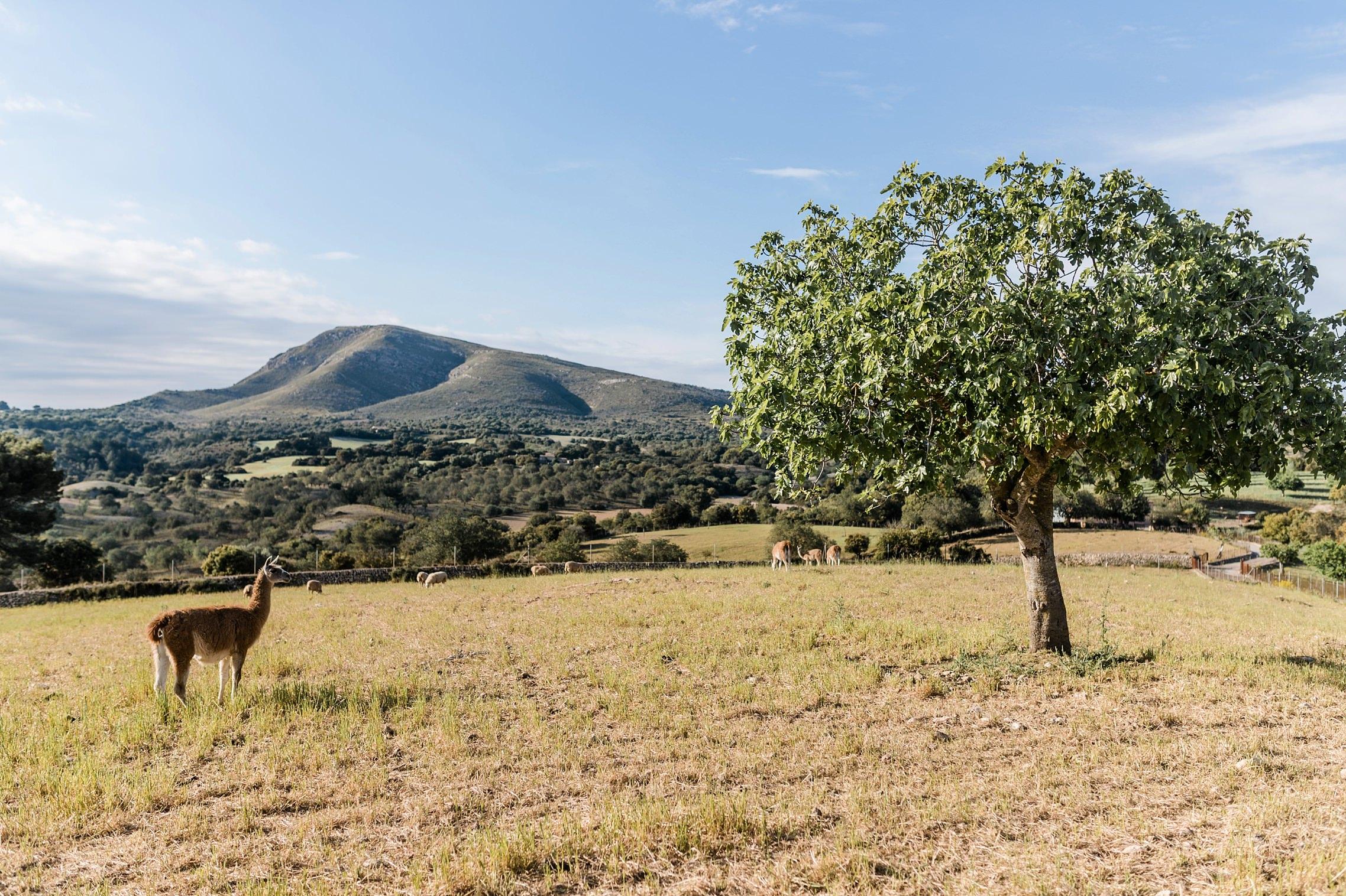 Ein Lama steht neben einem Baum vor einer malerischen Bergkulisse auf Mallorca