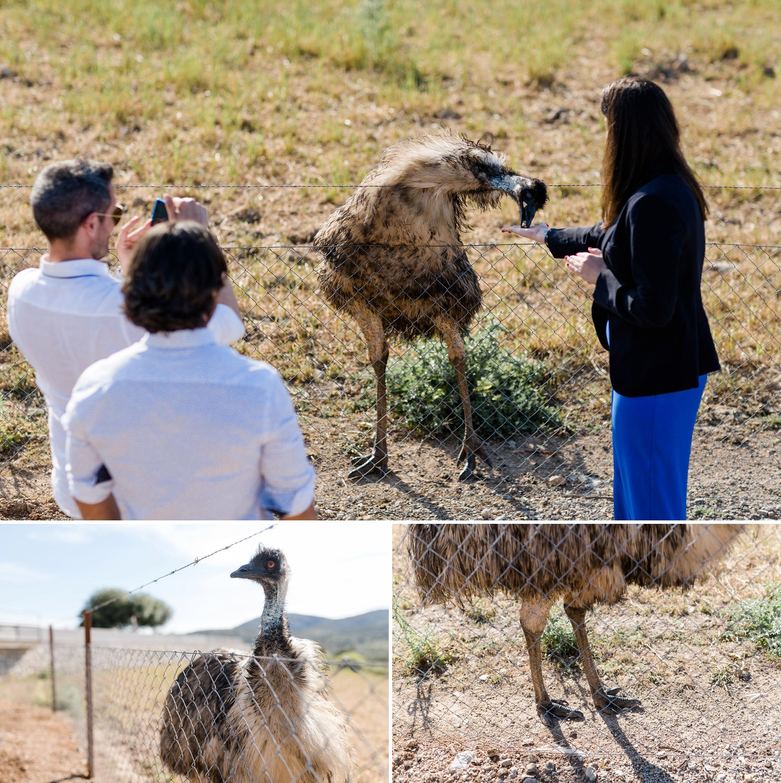 Die Schwester des Bräutigams füttert ein Emu - eine Art Vogel Strauß - aus der Hand